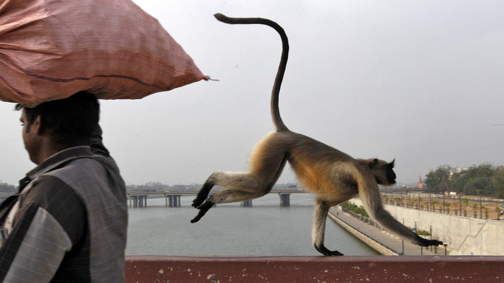 Monkeys assault lab technician, STEAL Covid-19 blood samples in India