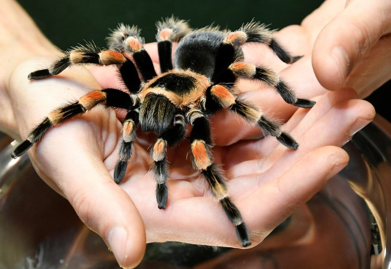 Hope for IBS victims as new research suggests artificial TARANTULA VENOM may assist deal with situation